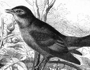 Bell Labs: Birdsong Contests
